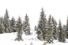 冬天冷杉木森林,冬天妙境 免版税库存照片