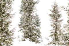 冬天冷杉木森林,冬天妙境 免版税库存图片