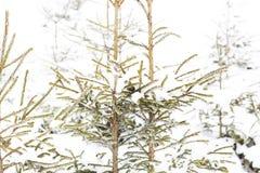 冬天冷杉木森林,冬天妙境 免版税图库摄影