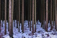 冬天冷杉森林 免版税图库摄影