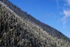 冬天冷杉森林 库存图片
