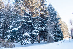 冬天冷的多雪的森林风景 免版税库存照片