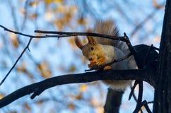 冬天动物:红松鼠,灰色冬天外套,吃在树枝 库存照片