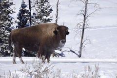 冬天北美野牛 库存图片