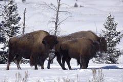 冬天北美野牛 免版税库存图片