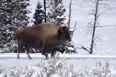 冬天北美野牛 图库摄影