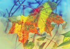 冬天和秋天遇见了在雪的两片槭树黄色红色叶子  库存图片