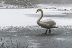冬天土地雪白天鹅鸟步行冰湖17 免版税库存照片