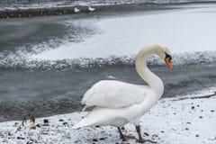 冬天土地雪白天鹅鸟步行冰湖11 免版税库存照片