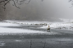 冬天土地雪白天鹅鸟步行冰湖12 库存图片