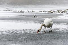 冬天土地雪白天鹅鸟步行冰湖14 库存图片