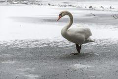 冬天土地雪白天鹅鸟步行冰湖16 免版税库存照片