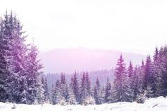 冬天在冷杉木的妙境雪 库存图片
