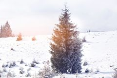冬天在冷杉木的妙境雪 免版税图库摄影