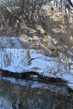 冬天在多雪的河岸背景的太阳光之前照亮的河芦苇Panicle  免版税图库摄影
