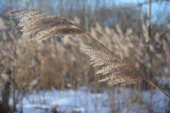 冬天在多雪的河岸背景的太阳光之前照亮的河芦苇Panicle  免版税库存照片