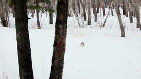 冬天在森林跑灰鼠在冬天 影视素材