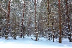 冬天在白色雪下的杉木森林 风景 图库摄影