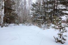 冬天在白色雪下的杉木森林 风景 免版税图库摄影