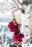 冬天在雪下的结冰的荚莲属的植物 在雪的荚莲属的植物 秋天和雪 美好的冬天 冬天风 冰柱 霜 免版税库存照片