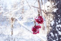 冬天在雪下的结冰的荚莲属的植物 在雪的荚莲属的植物 秋天和雪 美好的冬天 冬天风 冰柱 霜 库存照片