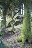 冬天场面在杉木森林里 图库摄影