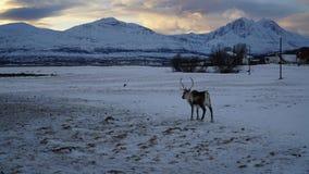 冬天场面:与一头驯鹿的一个看法从峡湾在特罗姆瑟,挪威 免版税库存图片