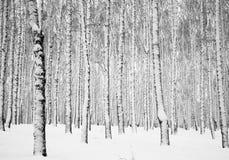 冬天多雪的桦树森林 免版税库存照片
