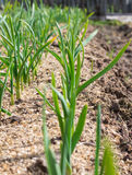 冬天大蒜新芽在早期的春天 库存图片
