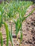冬天大蒜新芽在早期的春天 免版税图库摄影