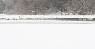 冬天天鹅 库存图片