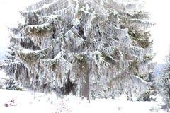 冬天妙境风景,多雪的杉树背景 库存照片