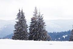 冬天妙境风景,多雪的杉树背景 免版税图库摄影