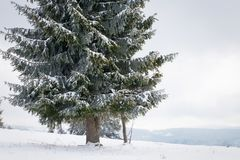 冬天妙境风景,多雪的杉树背景 免版税库存图片