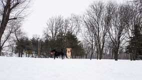 冬天妙境 使用在雪的狗 免版税库存图片