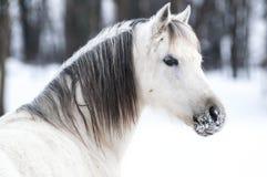 冬天小马 免版税库存图片