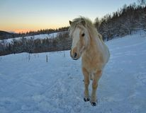 冬天小马 图库摄影