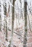 冬天山毛榉森林场面 库存照片