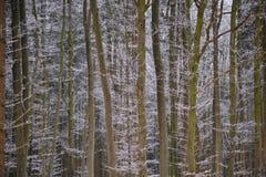 冬天山毛榉森林背景 免版税图库摄影