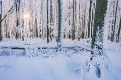 冬天山毛榉森林 免版税库存照片