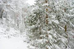 冬天旅行,多雪的杉木美好的风景与雾,口岸的 库存图片