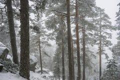 冬天旅行,多雪的杉木美好的风景与雾,口岸的 免版税图库摄影