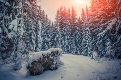 冬天日出在有冷杉木和新s的山森林里 库存图片