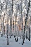 冬天日落在桦树森林里 库存照片