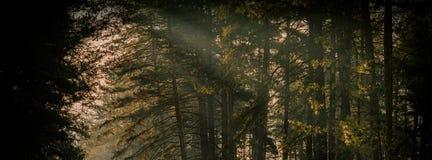 冬天早晨在杉木森林和太阳里发出光线 万维网横幅 库存照片