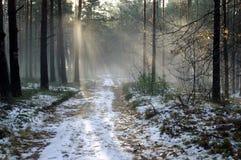 冬天早晨在森林里。 免版税库存照片