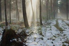 冬天早晨在森林里。 库存图片