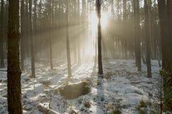 冬天早晨在森林里。 库存照片