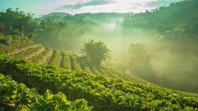 冬天早晨在草莓农场 图库摄影