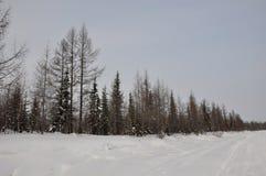 冬天晚上和冷淡的landskape从北部 赤裸树、杉木和白色雪 库存图片